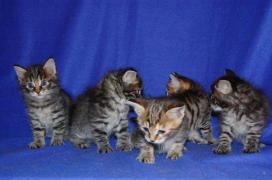 Kurilian Bobtail kittens, Perm