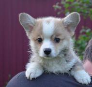 Selling: Welsh Corgi Pembroke puppies for sale in Moscow